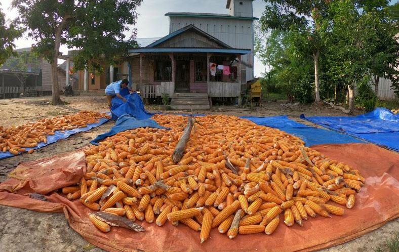 jagung pakan ternak
